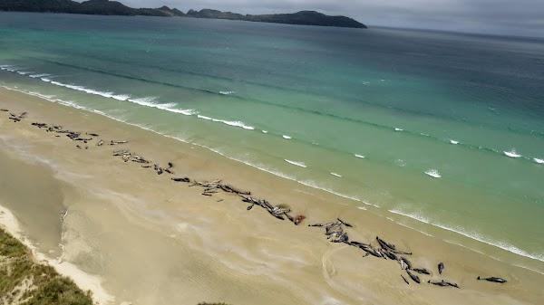 FOTOS: 145 ballenas piloto murieron en playas de nueva zelanda.