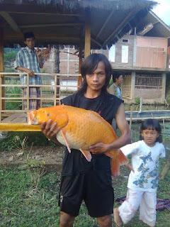 download gambar ikan mas
