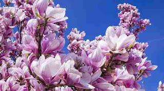 Floare magnolie în simboluri și superstiții