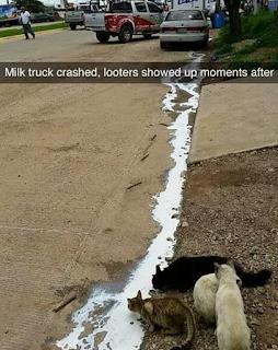 cats drinking spilt milk from gutter in road