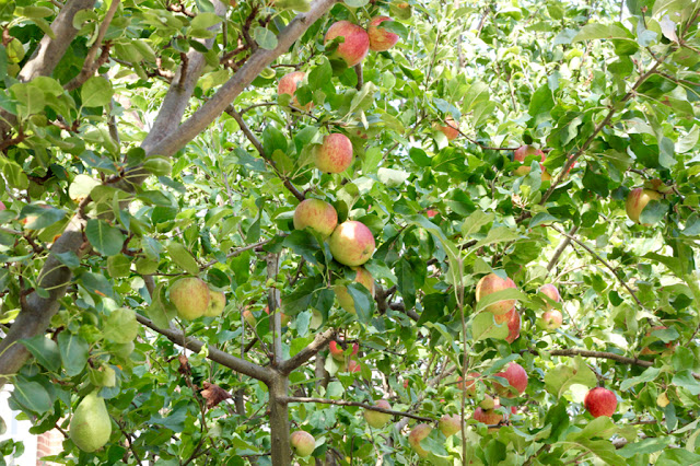 apple tree with fruit