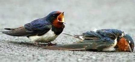 kesetiaan-sepasang-burung