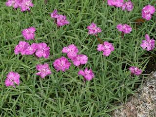 Œillet de Chine - Oeillet de l'Amour - Dianthus chinensis - Dianthus amurensis