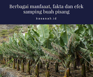 kebun pisang