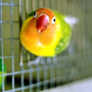 cara mengatasi lovebird ngeruji saat lomba, yang suka, sering, nakal.