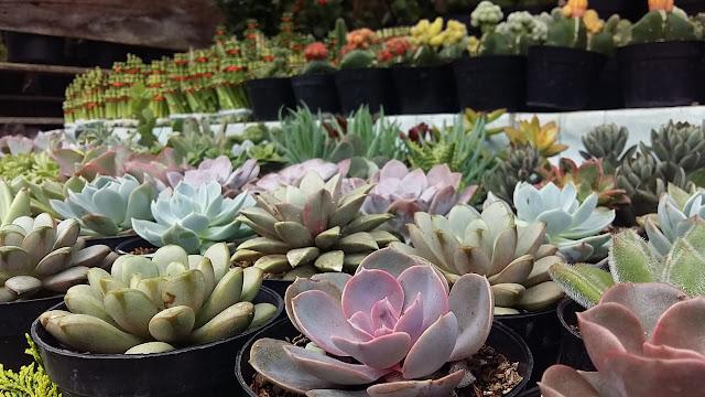Indonesia ekspor tanaman hias ke Korea Selatan