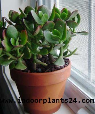 Crassulaceae Chinese Jade Plant picture