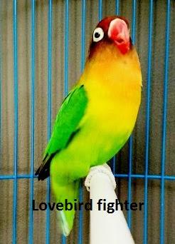 tanda lovebird siap lomba