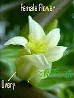 Papaya Female Flower