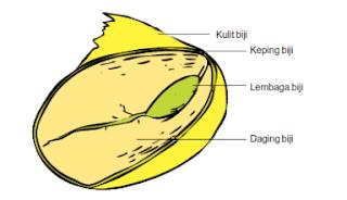 bagian bagian biji dikotil