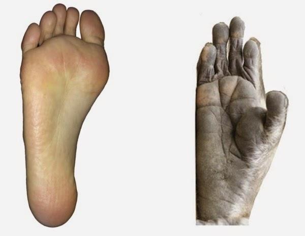 ヒトとサルの足の裏の違い