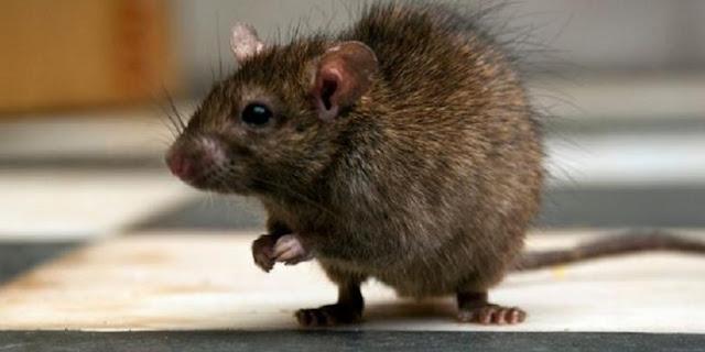 Di Kebayoran Baru Warga Berhasil Musnahkan 75 Ekor Tikus