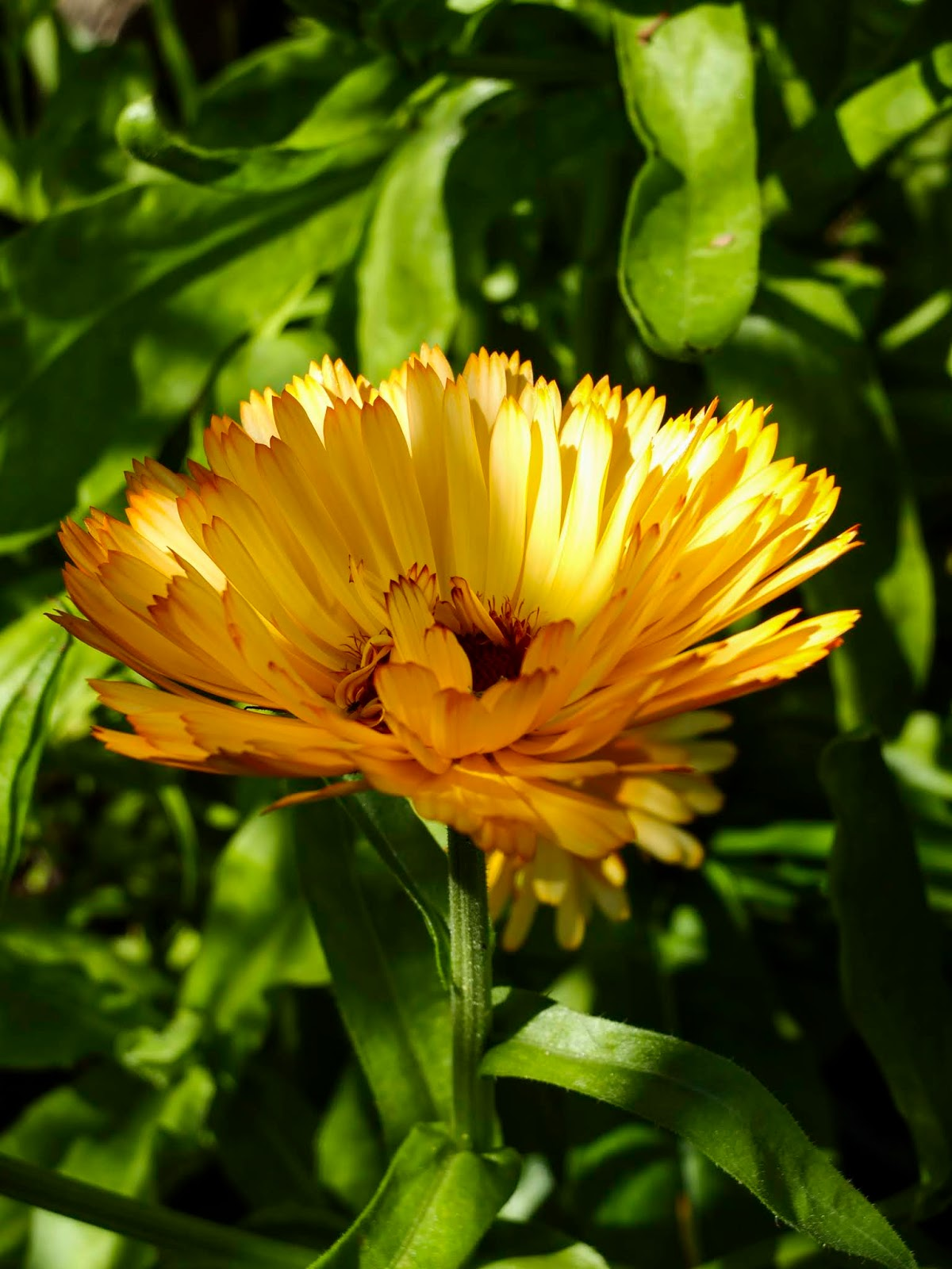 A close up of a Calendula flower in dappled sunlight.