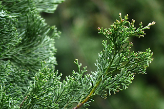 Cupressus semperivens L. leaves image