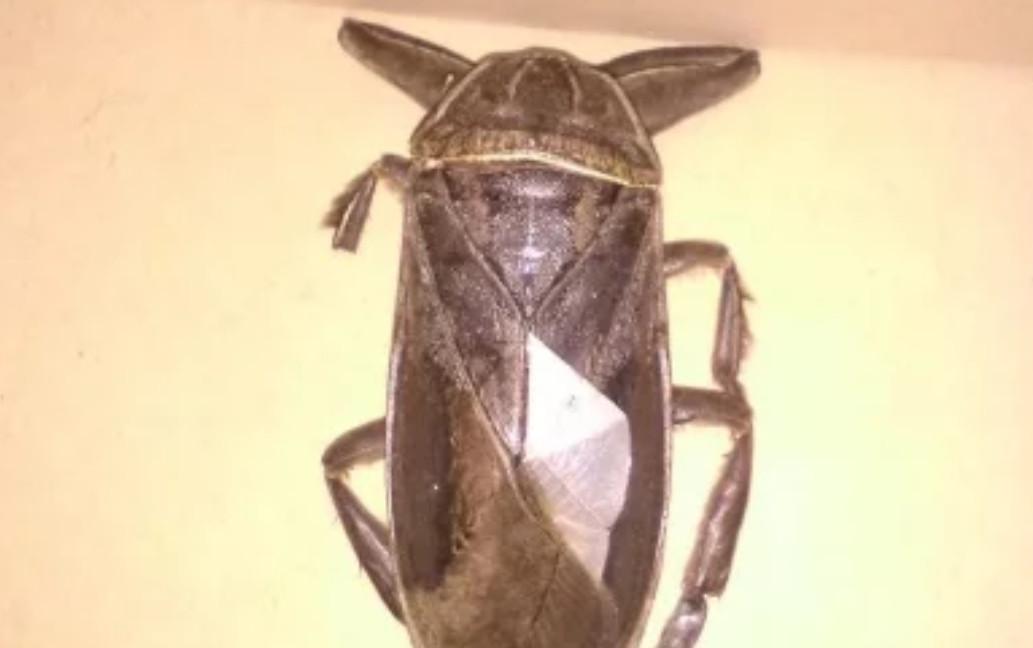 Σαρκοφάγο έντομο γίγας εμφανίστηκε στη Λαμία