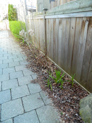 Toronto Roncesvalles spring garden cleanup before  Paul Jung Gardening Services