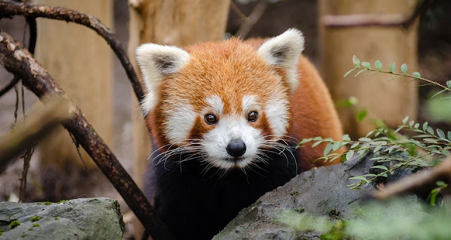 Image: Red Panda at the Zoo, by Pexels on Pixabay