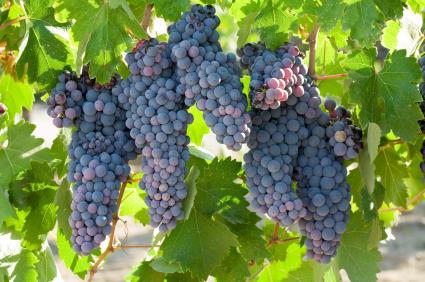 Todo sobre el vino Zinfandel