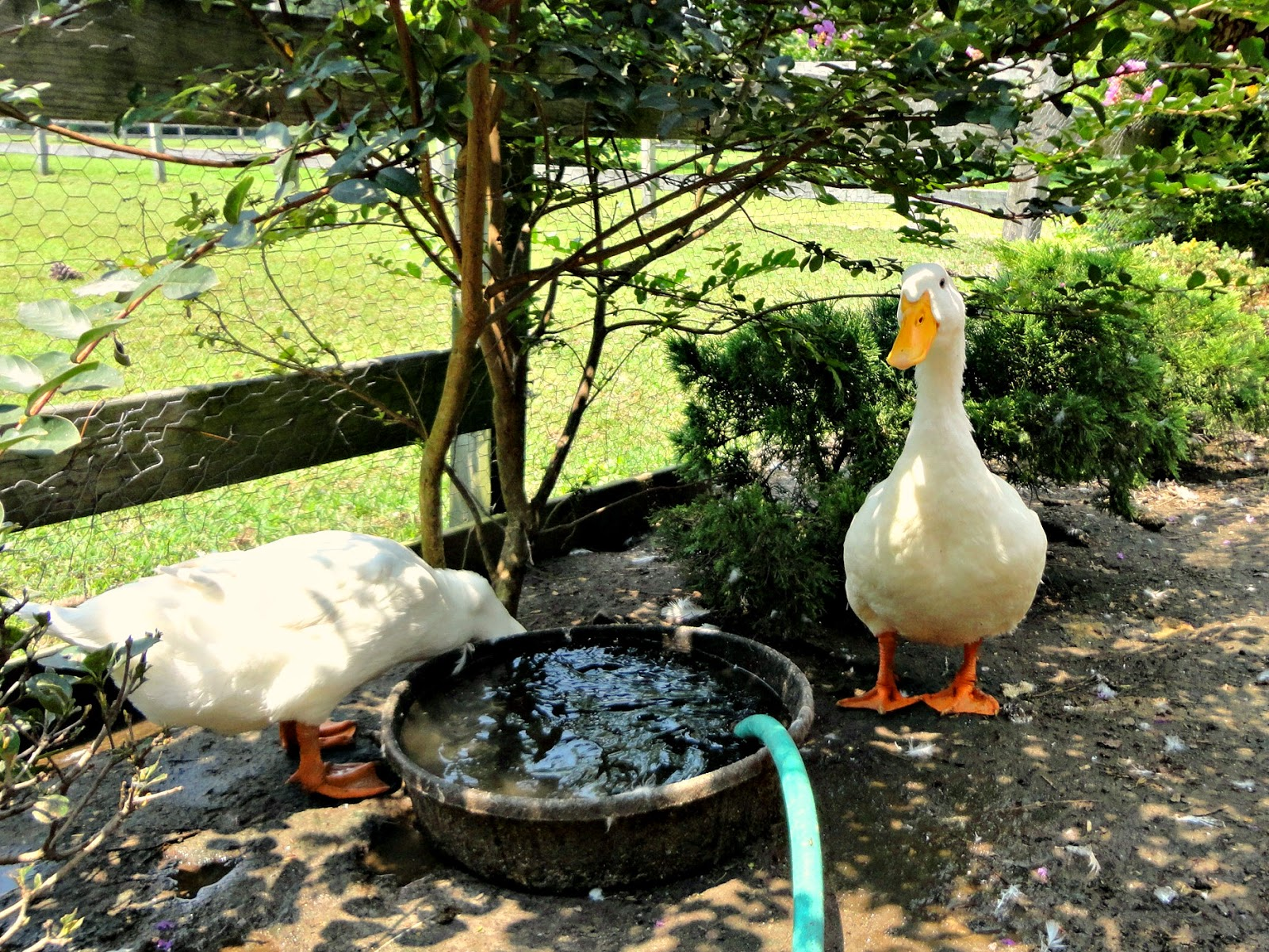 Tips to help your ducks stay cool this summer fresh eggs daily for Keep ducks out of swimming pool