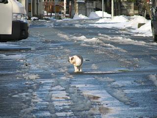 真冬の道を悠然と歩く、やさぐれ猫