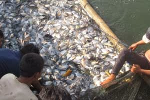 Teknis Budidaya Ikan Bawal Dengan Teknologi Organik Nasa Organik Nusantara