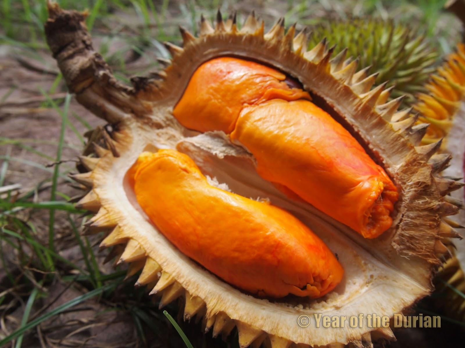 Durio Kutejensis Durian Ukak 1 RARE plant of Borneo Seasonal free PC