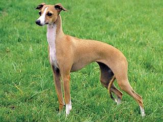 Italia Greyhound