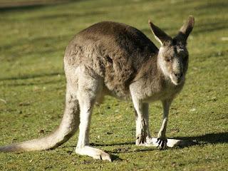 Photo de marsupial d'Australie : Kangourou