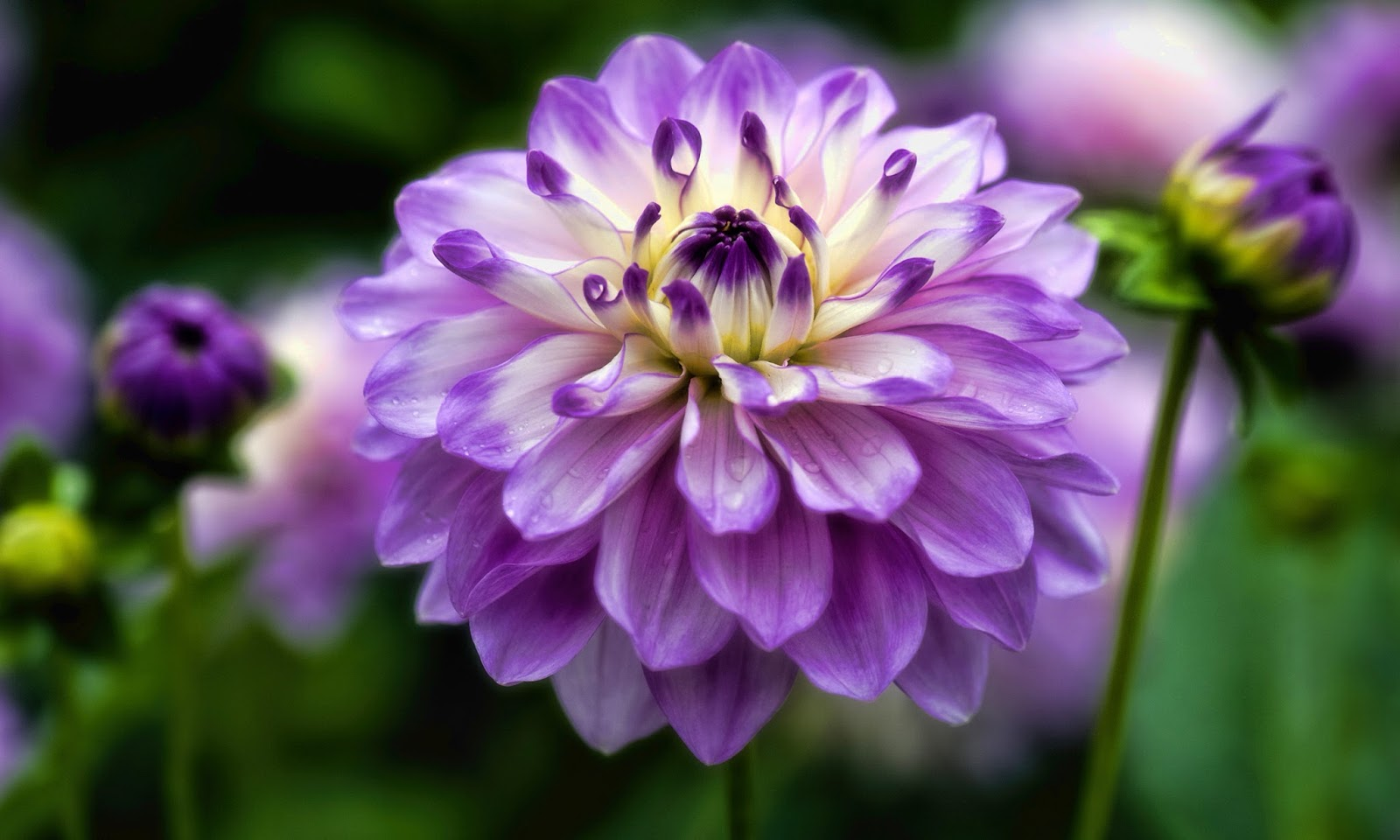 Dahlia Flower Pin Dahlia Flower Wallpaper On Pinterest