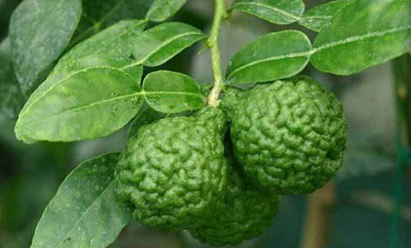 10 Best Amazing Benefits Of Kaffir Lime