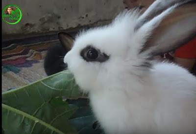 Manfaat daun pepaya untuk pakan kelinci