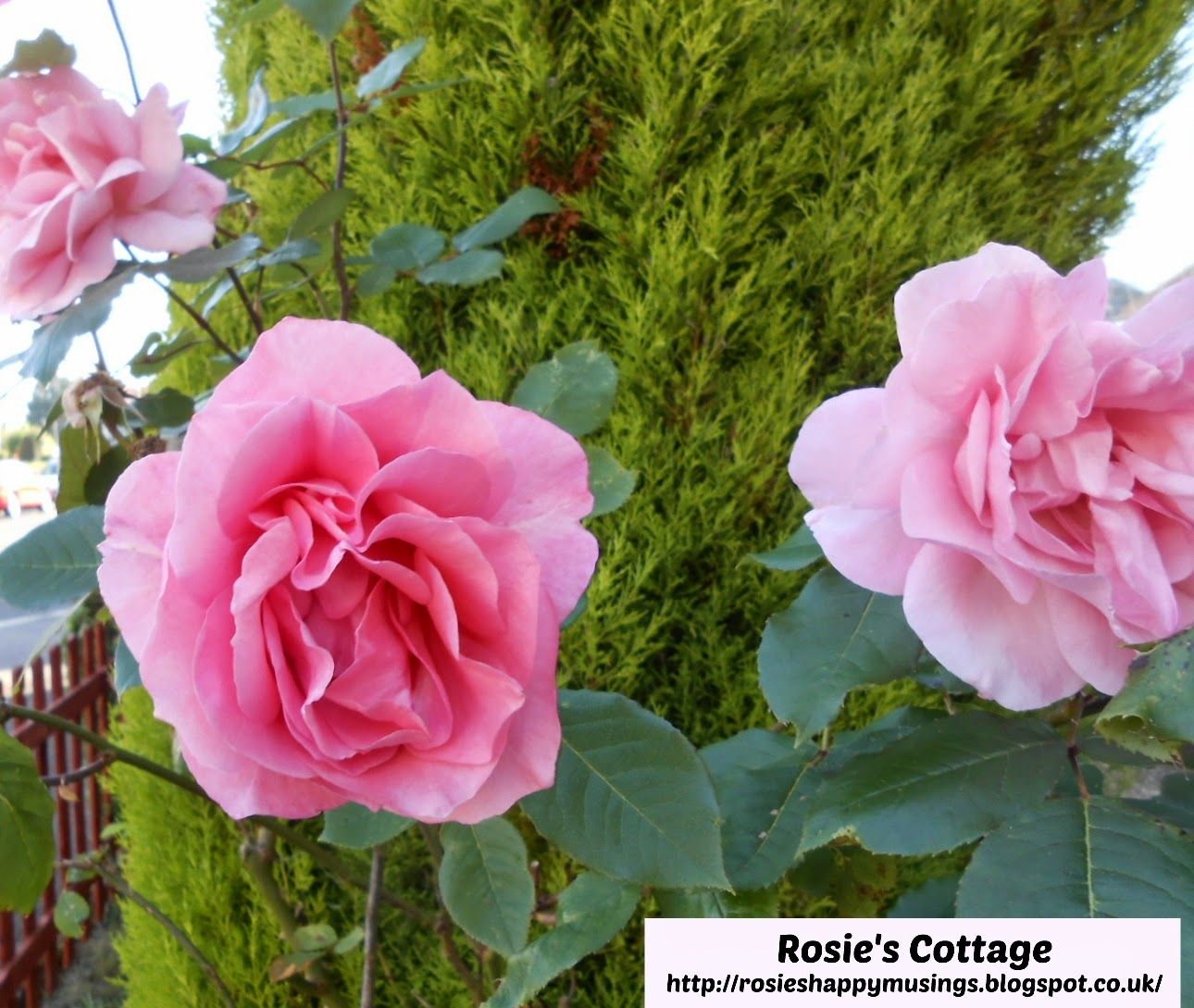 beautiful pink roses in Rosie's garden