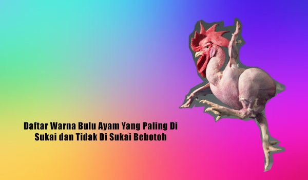 Daftar Warna Bulu Ayam Yang Paling Di Sukai dan Tidak Di Sukai Bebotoh