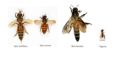 efek samping makan minum madu asli lebah