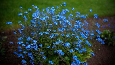 Цветок имени Валентина незабудка