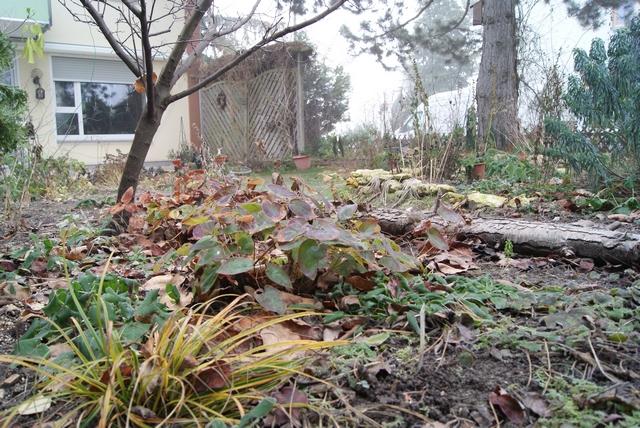 Schattenecke im Wintergarten mit Elfenspiegel und Carex