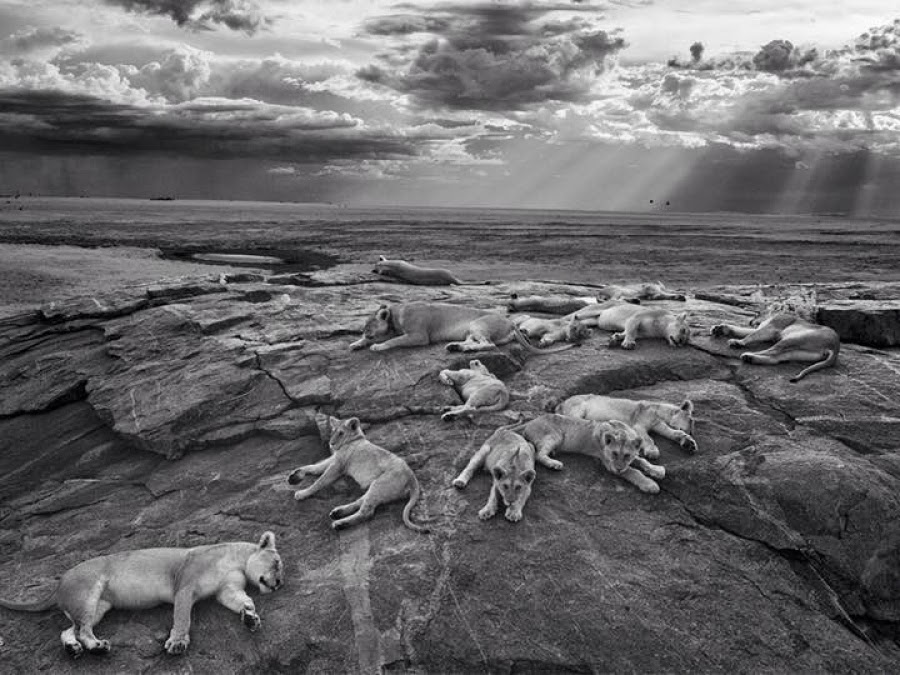 Michael Nichols, Leonas Dormidas, Wildlife Photographer of the Year