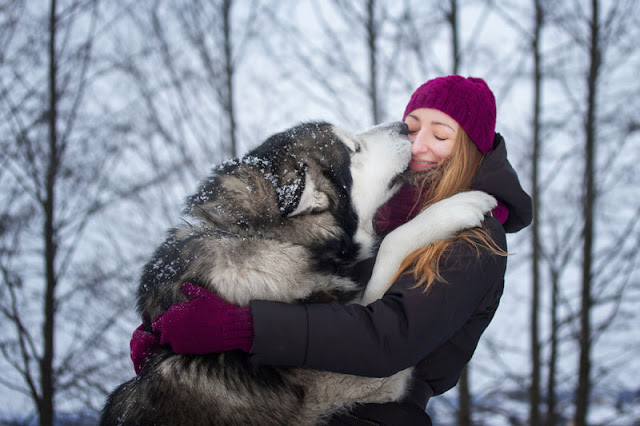 An Alaskan Malamute gives a kiss to her owner