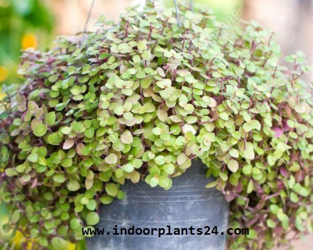 Callisia Repens indoor house plant