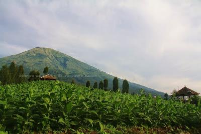 Gunung Sindoro diluhat dari Puncak Posong, dengan kebun tembakau sebagai foreground.