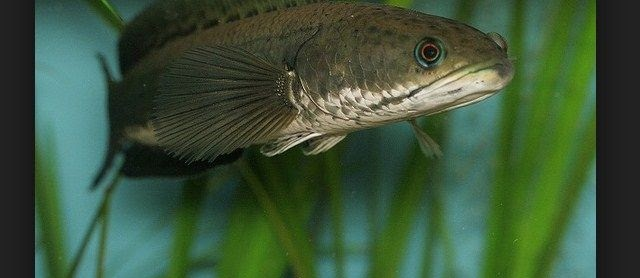 Cara Terbaru Budidaya Ikan Gabus (Kutuk) Di Kolam Tanah, Terpal, & Beton dengan Hasil Melimpah