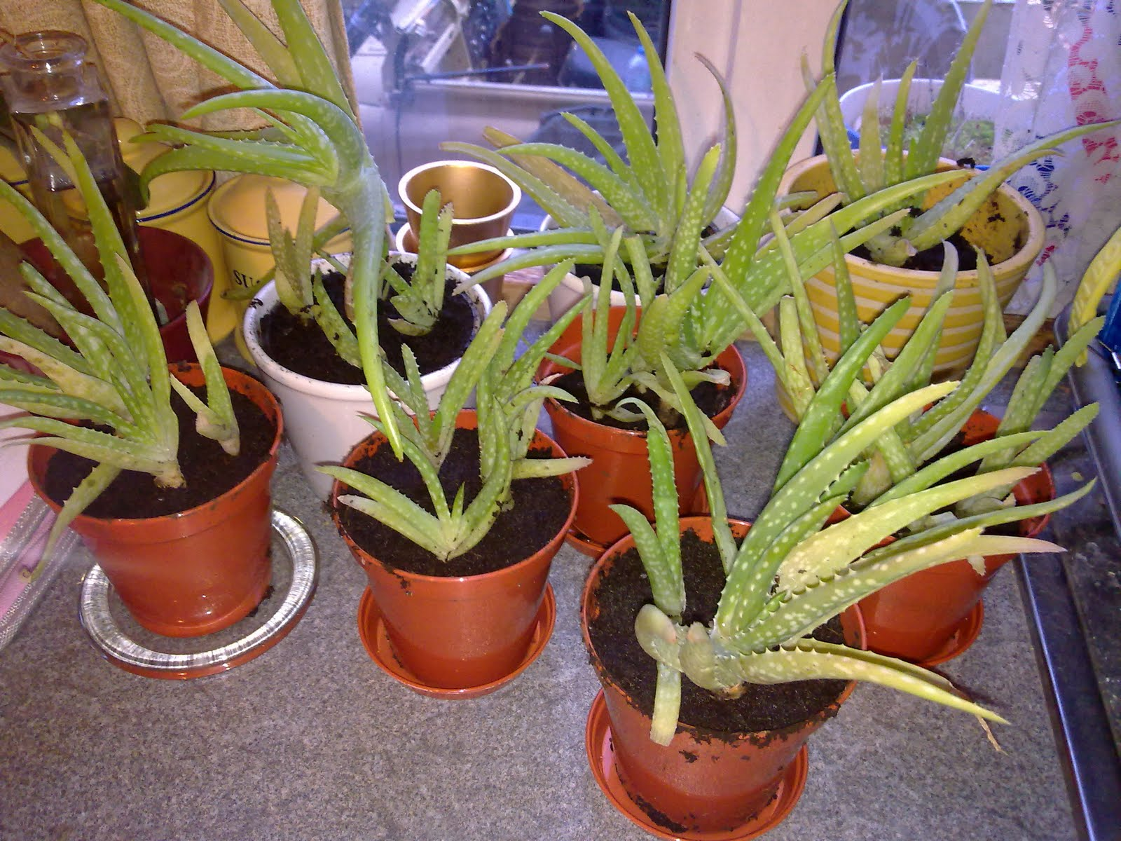 """""""Part of Me"""": Aloe Vera - What a fascinating plant!"""