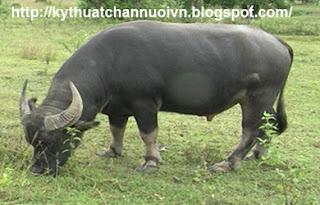 Kỹ thuật nuôi trâu thịt