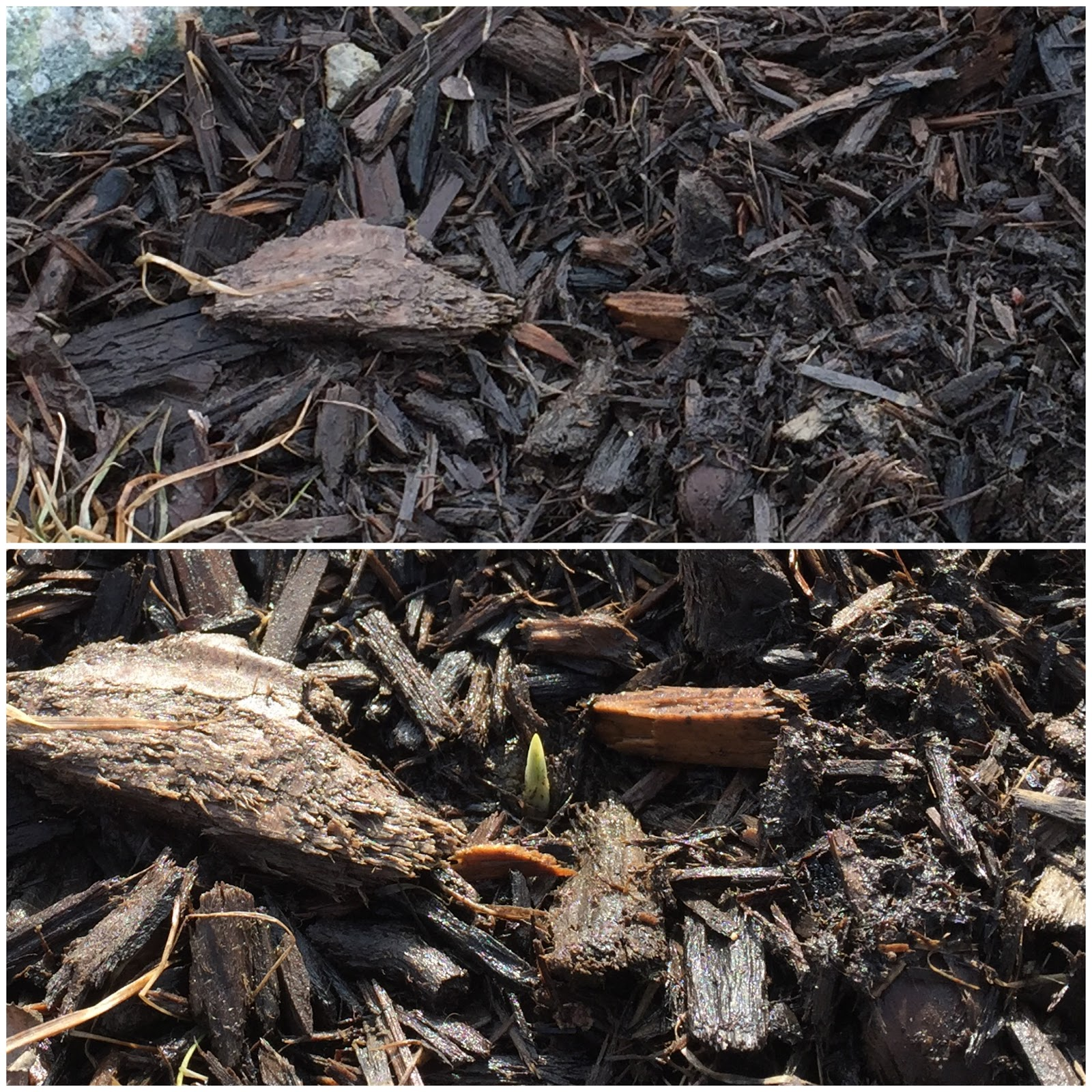 crocus shoot emerges before and after