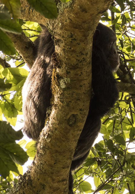 Chimpanzee in a tree in Uganda's Kibale National Forest