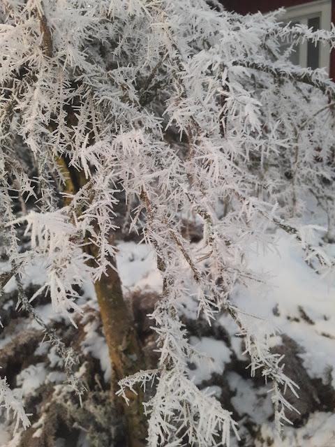 lumihuurre riippahernepuu