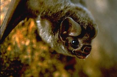 La dieta del murciélago vampiro incluye también sangre humana