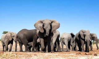 Zimbabue vende 35 elefantes a China y lo justifica por motivos económicos