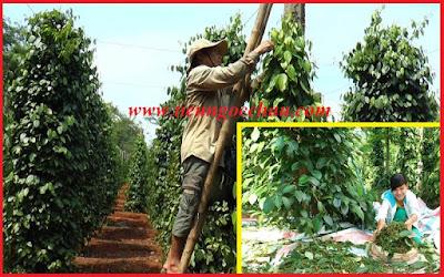 Người trồng tiêu