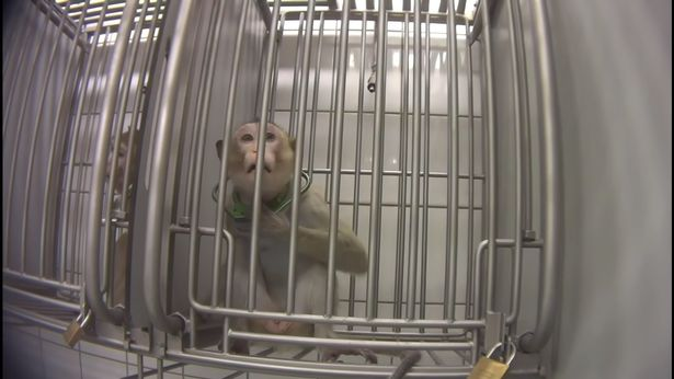 Terrifying Video Shows Monkeys Being Tortured In German Lab Trials